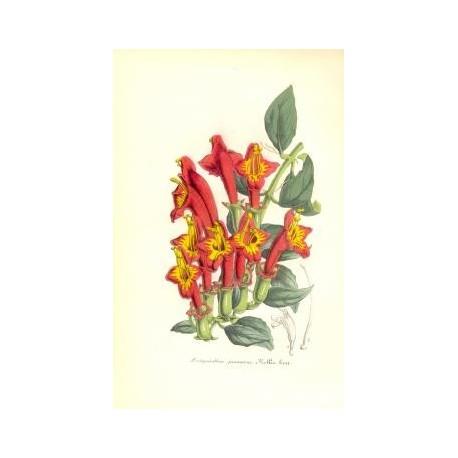 Flor AECHYMANTHUS JAVANICUS. Litografía perteneciente a la obra: Le Jardin Fleuriste, journal général des progrès et des intérét
