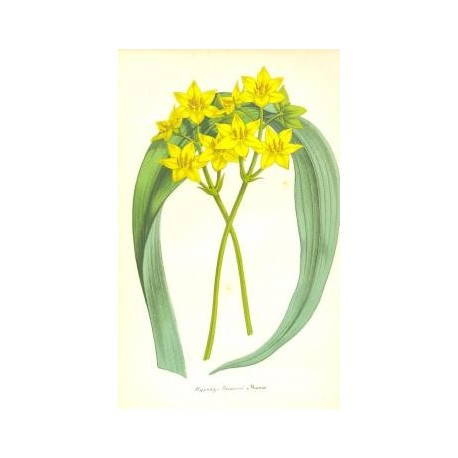Flor HYPOXYS ROOPERII. Litografía perteneciente a la obra: Le Jardin Fleuriste, journal général des progrès et des intéréts hort