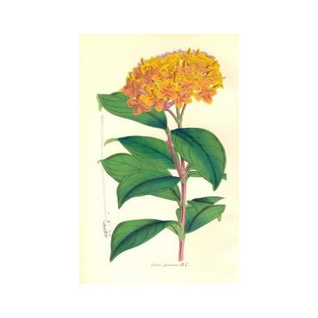 Flor IXORA JAVANICA. Litografía perteneciente a la obra: Le Jardin Fleuriste, journal général des progrès et des intéréts hortic