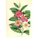 Flor MYRTUS TOMENTOSA. Litografía perteneciente a la obra: Le Jardin Fleuriste, journal général des progrès et des intéréts hort