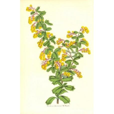Flor BERBERIS DARWINII. Litografía perteneciente a la obra: Le Jardin Fleuriste, journal général des progrès et des intéréts hor