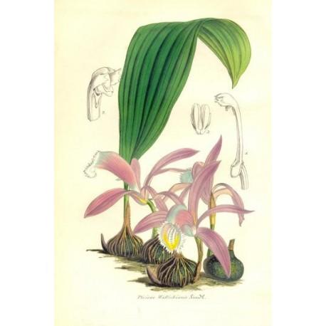 Flor PLEIONE WALLICHIANA. Litografía perteneciente a la obra: Le Jardin Fleuriste, journal général des progrès et des intéréts h