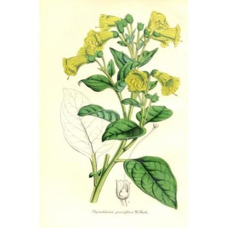 Flor PHYSOCHLAINA GRANDIFLORA. Litografía perteneciente a la obra: Le Jardin Fleuriste, journal général des progrès et des intér