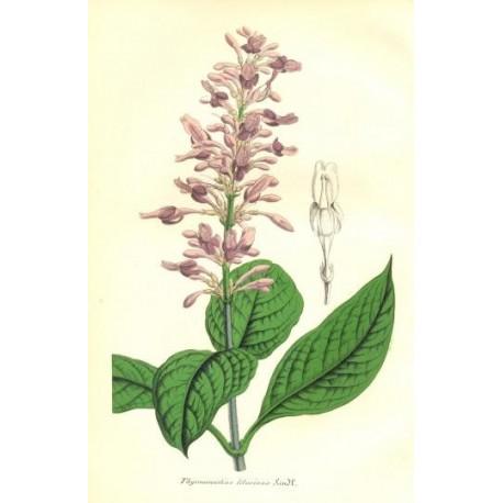 Flor THYRSACANTHUS LILACINUS. Litografía perteneciente a la obra: Le Jardin Fleuriste, journal général des progrès et des intéré