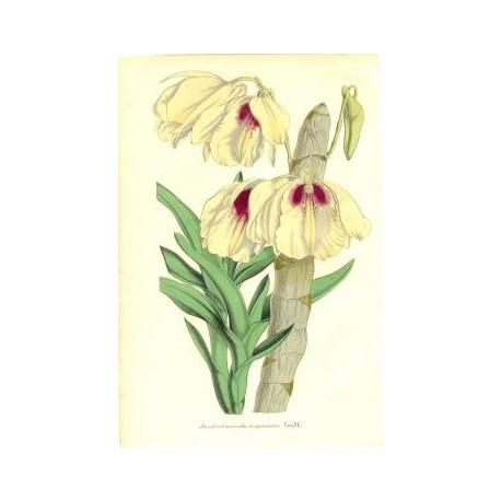 Flor DENDROBIUM ALBO-SANGUINEUM. Litografía perteneciente a la obra: Le Jardin Fleuriste, journal général des progrès et des int
